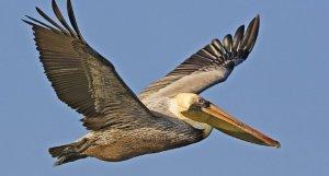 Pelican job