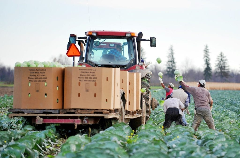 Farmers Working And Harvesting Cabbages